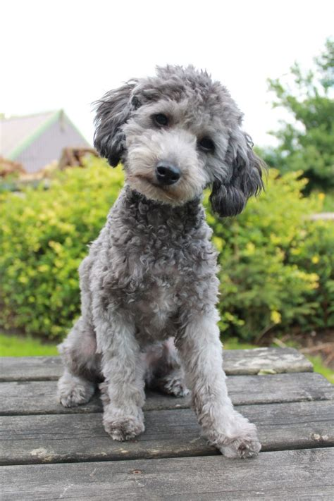 Silver toy poodle boy for stud DL reg   Skipton, North