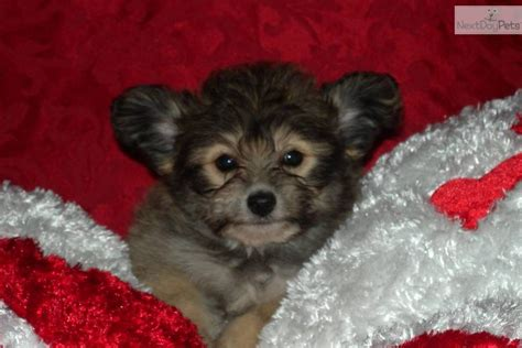 pomapoo puppies for sale near me poma poo pomapoo puppy for sale near lake of the ozarks missouri ac714077 03b1