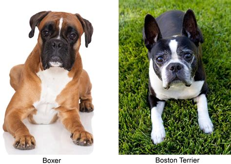 a boxer meet the miniature boxer a mix breed of boxer and boston terrier