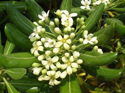 pitosforo in vaso come infoltire pitosforo domande e risposte giardino