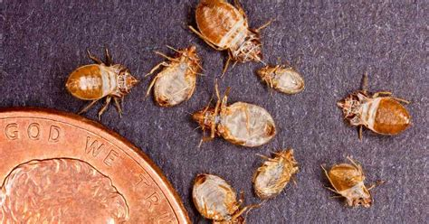 does diatomaceous earth kill bed bug eggs naturally get rid of bed bugs how to kill a bedbug