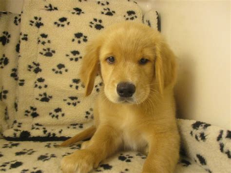 boston golden retriever breeders golden retriever 6866 puppies for sale at breeders club
