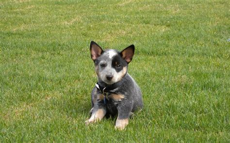 blue heeler puppies nc blue heeler dogs for sale in carolina pets wallpapers