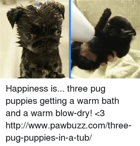 pug getting a bath pug puppy memes of 2017 on sizzle pugged