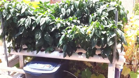 hydroponic bell peppers youtube