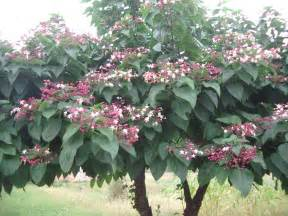 Plants For Formal Gardens - clerodendrum trichotomum google zoeken kleine bomen pinterest google shrub and unusual