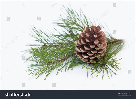 pine branch with cone on a white background for christmas