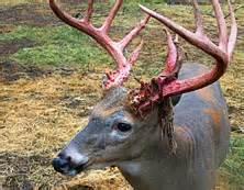 minnesota whitetail deer seasonal patterns fml outdoors