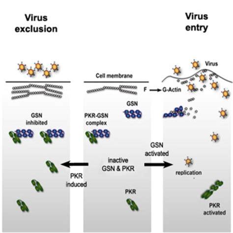protein kinase r regulation of actin dynamics by protein kinase r