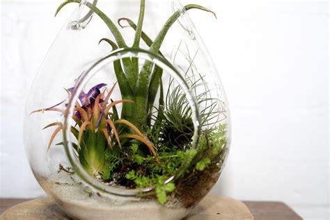 air plants  joy  plants