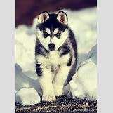 Cute Husky In Snow | 610 x 852 jpeg 112kB