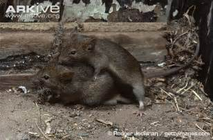 barn rat barn mice