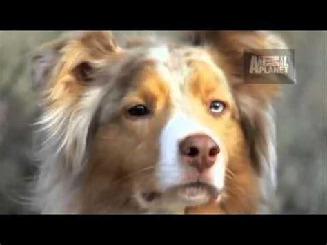 australian shepherd dogs 101 dogs 101 australian kelpie funnydog tv