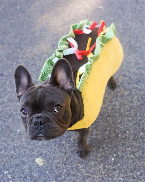 pug in taco costume best 20 blue bulldogs ideas on bulldogs blue