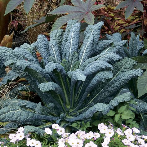 Benih Kale Nero Di Toscana Mr Fothergill S Original Packing growing tuscan kale from seed