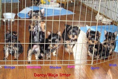 yorkie at 6 weeks yorkies terriers yorkie breeder nc carolina terrier