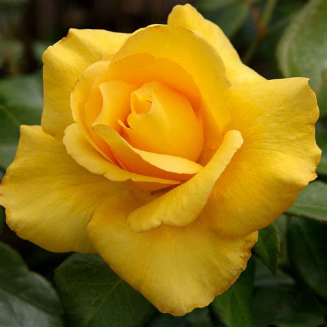 rose  lovely mum  smiling ht yellow roses