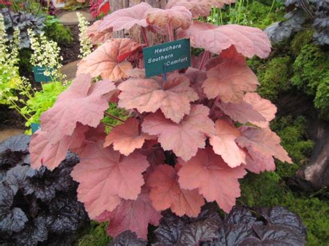 Southern Comfort Heuchera by Heuchera Southern Comfort Shady To Part Shady Plants