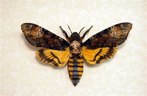 death head moth tattoo deaths moth silence of the lambs free ship 653 only 1