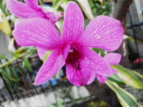 foto bunga anggrek  berbagai daerah  indonesia