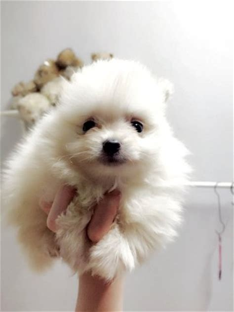white teddy pomeranian pomeranian white teddy