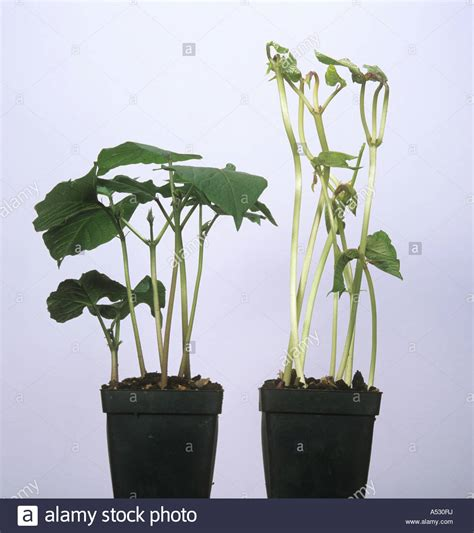 growing in the dark plants and light science project education com runner bean plants grown in the light compared to those