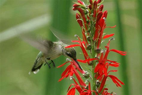 how to attract hummingbirds to your yard mnn mother