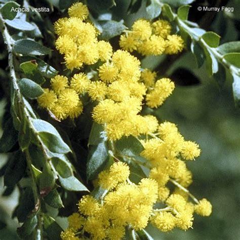 shrub flowers acacia vestita growing plants