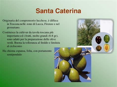 variet di olive da tavola a grimelli le variet 224 d olivo tante poche quante