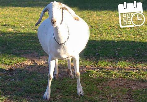 Goat Gestation Table by Goat Pregnancy Calendar