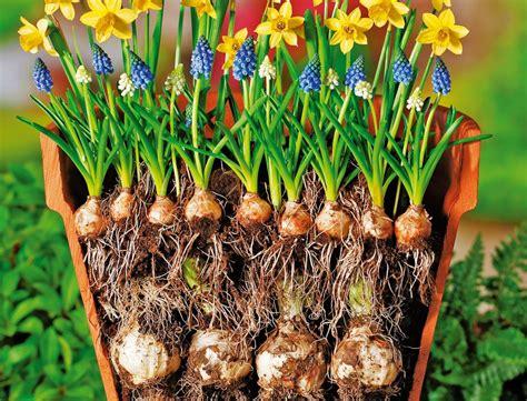 Garten Pflanzen Setzen by Blumenzwiebeln Richtig Pflanzen Garten