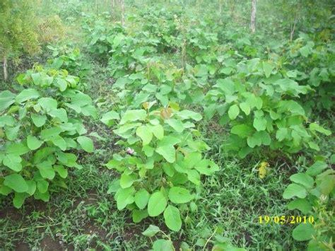 Pohon Kacang disela sela hutan pohon kayu putih kacang koro pedang