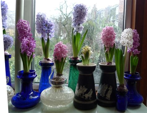 Hyacinth Bulb Vases by Purple Hyacinths Garden Withindoors