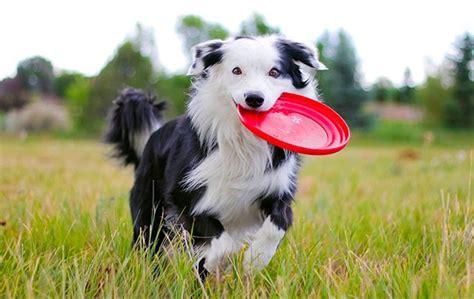 alimentazione border collie border collie carattere e informazioni sulla razza canina