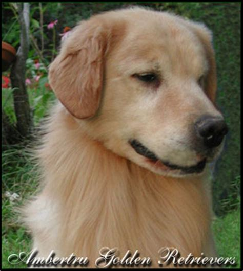 golden retriever breeders in bc registered golden retriever breeders alberta dogs our friends photo