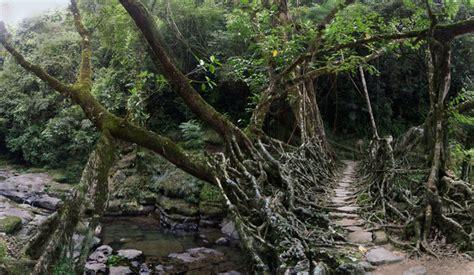 what is root bridge living bridges dusky s wonders