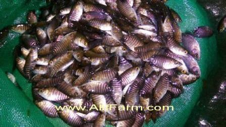 Bibit Ikan Gurame Unggulan alif farm pusatnya bibit ikan hias air tawar murah