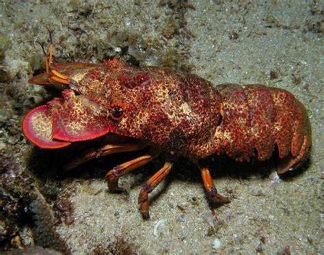 slipper lobster slipper lobster water wonders