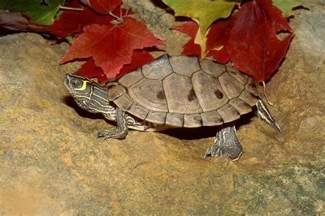 western mass turtle rescue mississippi map turtle