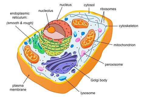 diagram of an eukaryotic cell eukaryotic cells bioninja