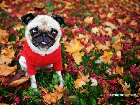 pug in leaves free fall wallpaper with dogs wallpapersafari