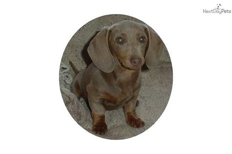 dachshund puppies for sale in ga haired miniature dachshund puppies for sale in breeds picture