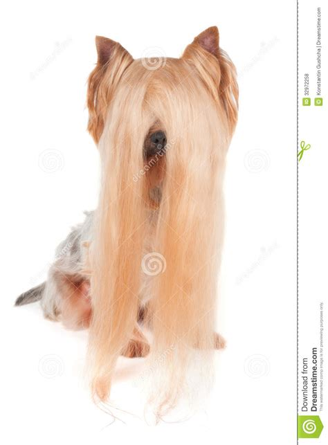 yorkie white hair terrier with hair royalty free stock photos image 32972258
