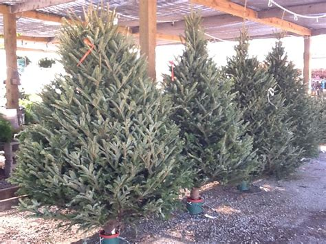 best prices on fresh cut trees fresh cut trees standley feed and seed