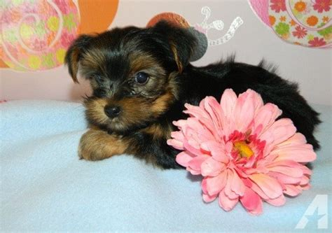 yorkie puppies for adoption in california adorable yorkie puppies for adoption contact us at 507 299 7763 for sale in los