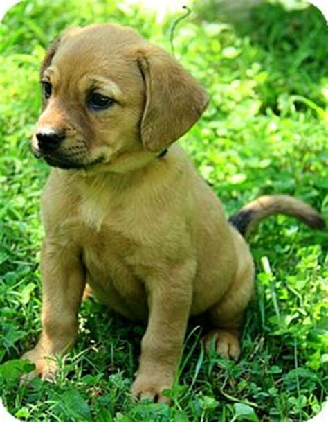 golden retriever mastiff mix puppies tillie adopted puppy dg allentown pa mastiff golden retriever mix