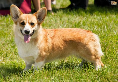 where to buy corgi puppies the personality traits of the corgi pets4homes