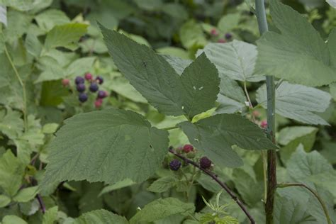 raspberry identification minnesota seasons black raspberry