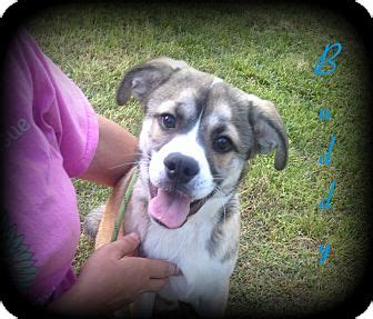 husky puppies denver buddy adopted puppy denver nc husky pug mix