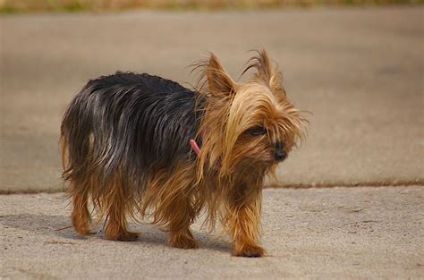 my teacup yorkie teacup terrier my rocks
